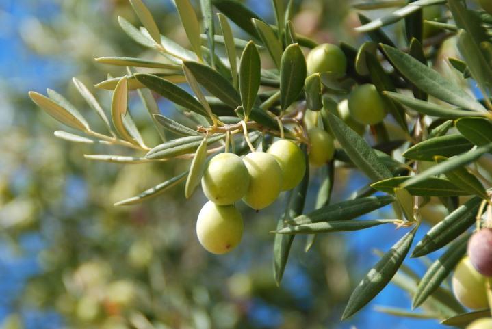 Déco : l'olivier en intérieur🌿